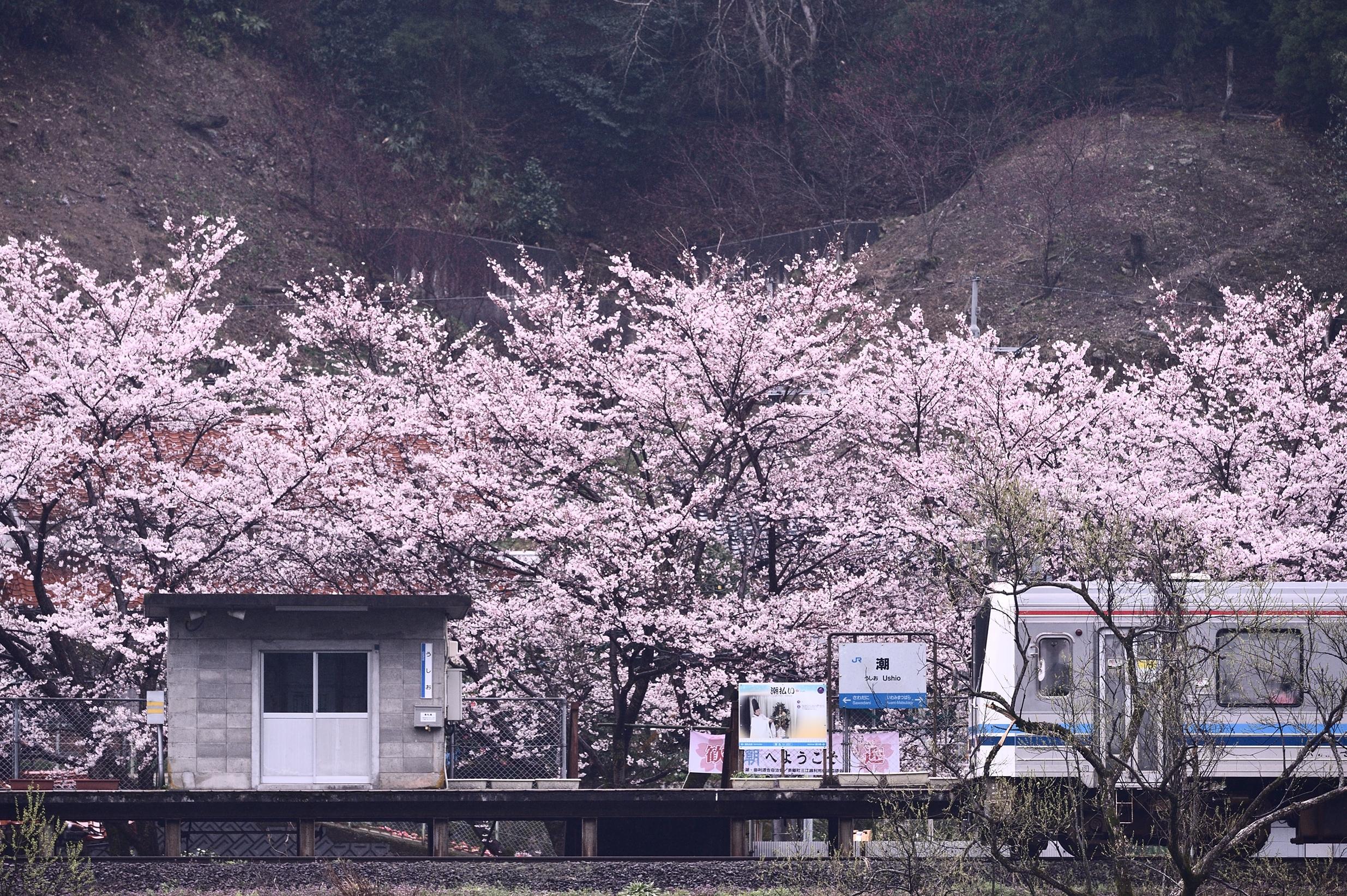 潮駅と桜4